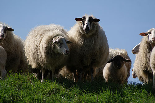 group of sheep